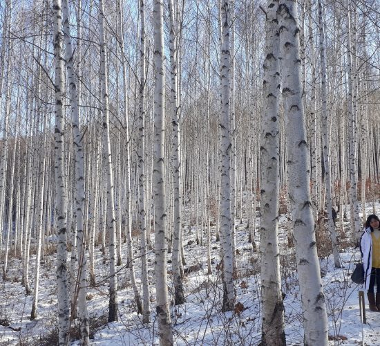 Winter Birch Trees Forest 1200
