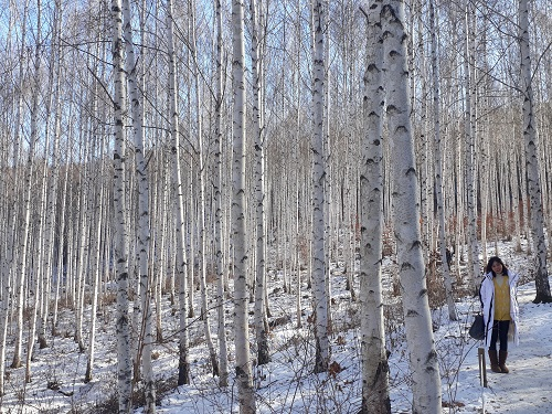 Birch Trees Forest500