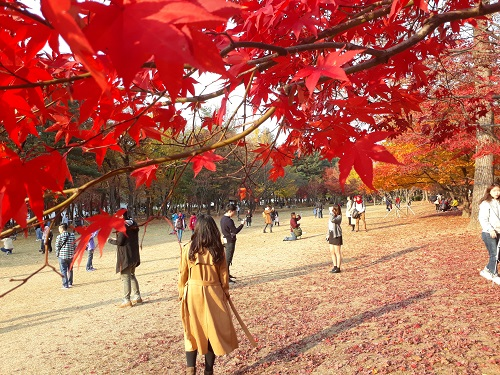 Maple tree in Nami Island