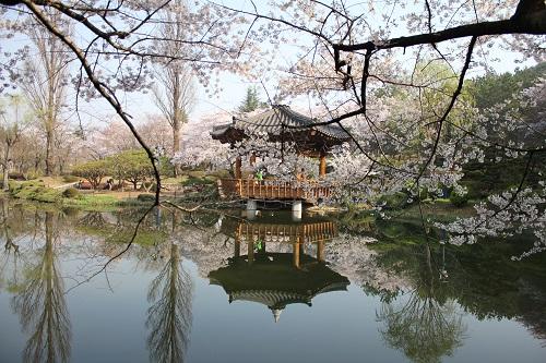 Gyeongju Cherry Blossom