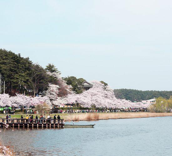 Gyeongpo Cherry Blossoms