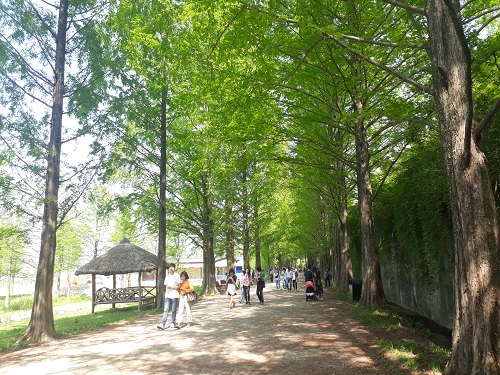 Metasequoia Forest Road
