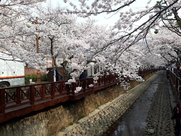 Jinhae Cherry Blossom